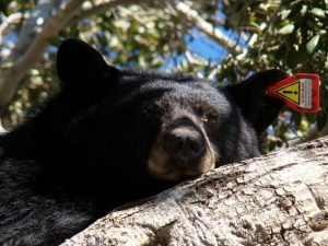"""""""ANI the Bear"""", our surprise guest!  Photo credit by Teresa Skinner"""